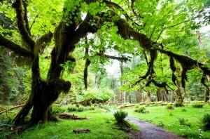 Olympic National Park Rain Forest