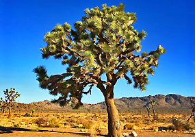 The Joshua Tree is very rare type of desert tree