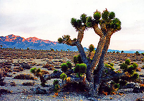 A rare desert tree which only grows under particular conditions