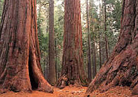 Ancient Redwood trees are the main attraction to the park