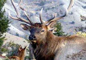 Elk are one of many different types of wildlife in Yellowstone